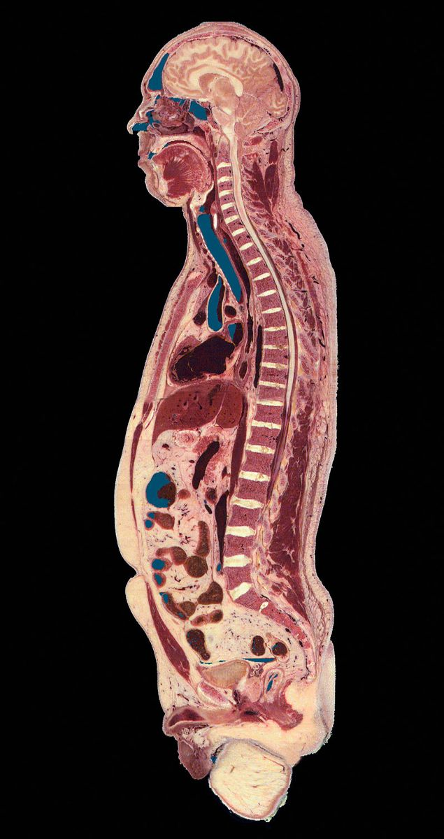 Sagittal view of the visible human. Photo: Callista images. Courtesy Cultura Creative/Alamy Stock Photo