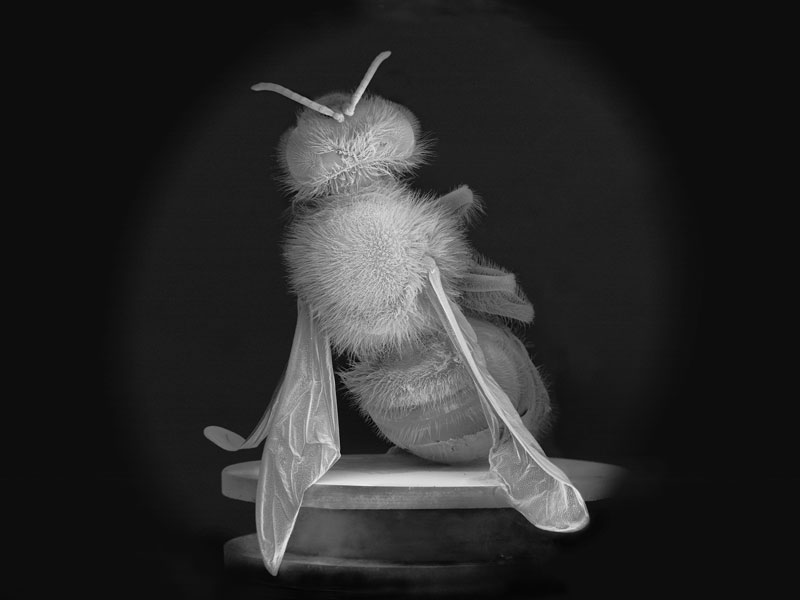 Anne Noble, Dead Bee Portrait #02 (2015) from No Vertical Song, Pigment print on archival paper. Courtesy the artist and Two Rooms Gallery