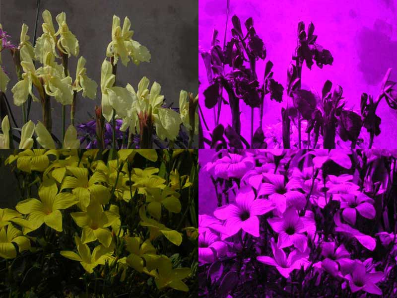 A series of flower species as seen in the visible light (left) and in the ultraviolet (right)  which bees but not humans can percieve.