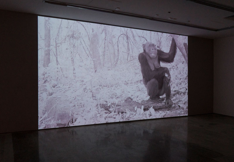 Amalia Pica and Rafael Ortega, Pan troglodytes ellioti and cousins, 2016, video loop, video camera with infrared trigger and monitor. Photo: Louis Lim